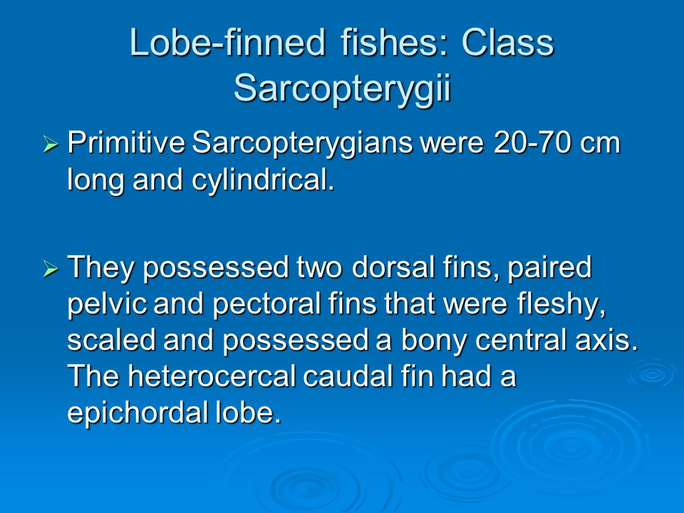 Lobe-finned fishes: Class Sarcopterygii  Primitive Sarcopterygians were 20-70 cm long and cylindrical.
