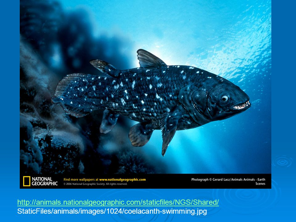 http://animals.nationalgeographic.com/staticfiles/NGS/Shared/ StaticFiles/animals/images/1024/coelacanth-swimming.jpg