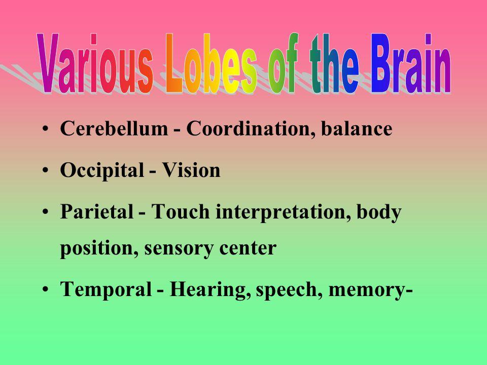 Cerebellum - Coordination, balance Occipital - Vision Parietal - Touch interpretation, body position, sensory center Temporal - Hearing, speech, memory-
