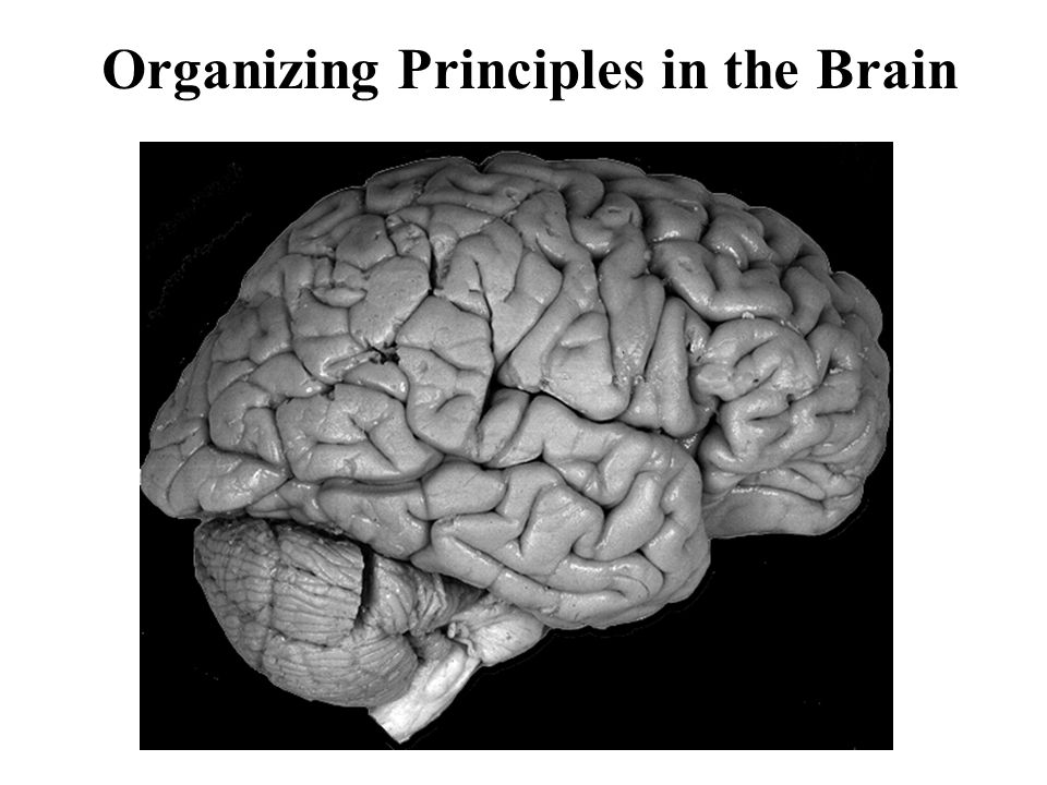 Organizing Principles in the Brain