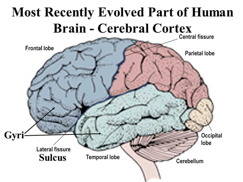 Most Recently Evolved Part of Human Brain - Cerebral Cortex Gyri Sulcus