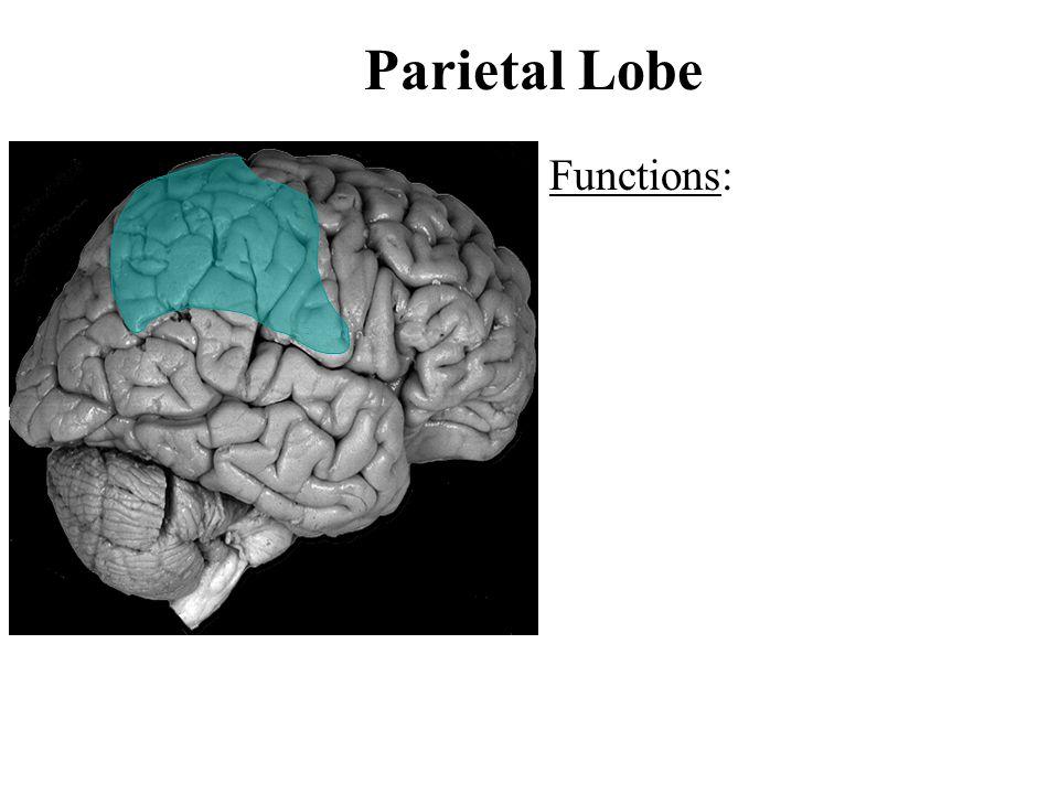 Parietal Lobe Functions: