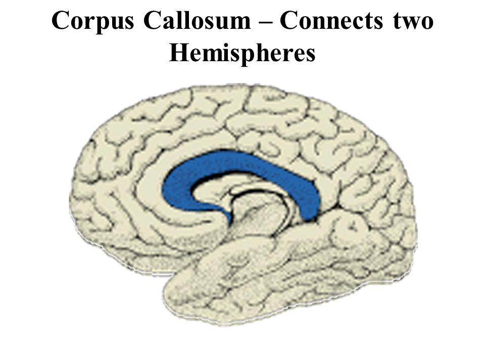 Corpus Callosum – Connects two Hemispheres