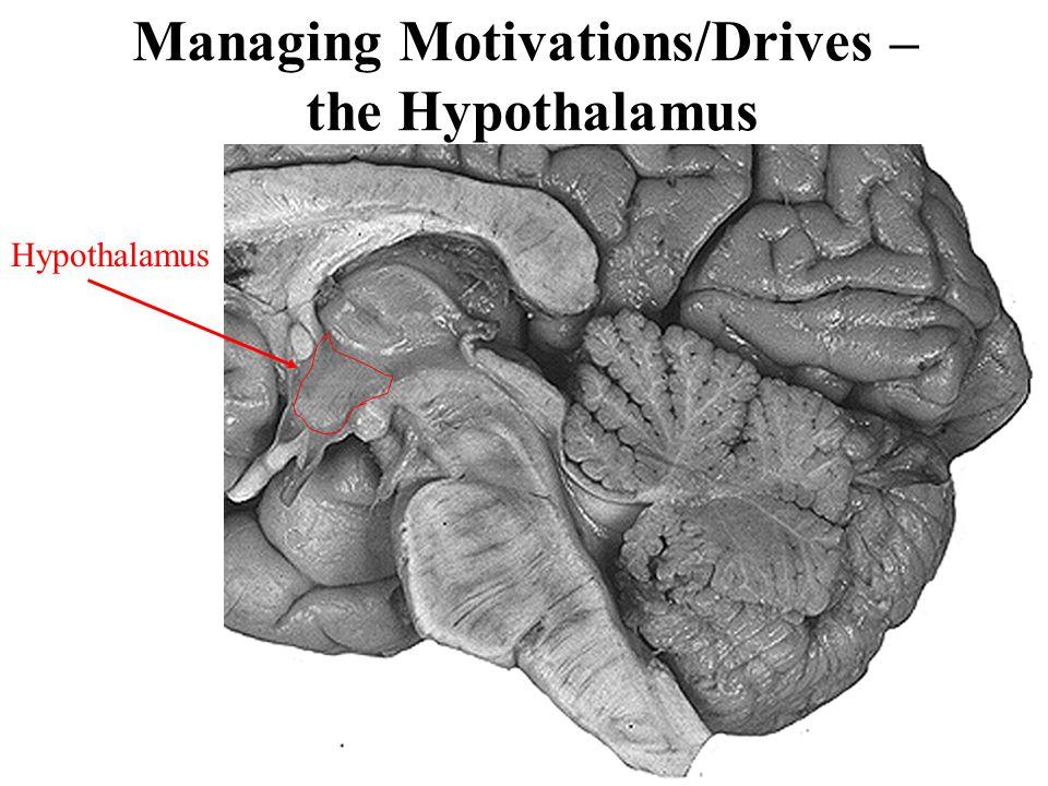 Managing Motivations/Drives – the Hypothalamus Hypothalamus