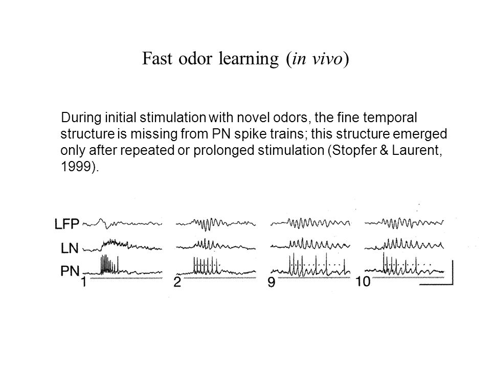 Fast odor learning (in vivo) During initial stimulation with novel odors, the fine temporal structure is missing from PN spike trains; this structure emerged only after repeated or prolonged stimulation (Stopfer & Laurent, 1999).
