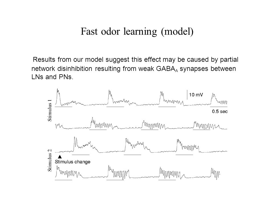 Fast odor learning (model) Results from our model suggest this effect may be caused by partial network disinhibition resulting from weak GABA A synapses between LNs and PNs.