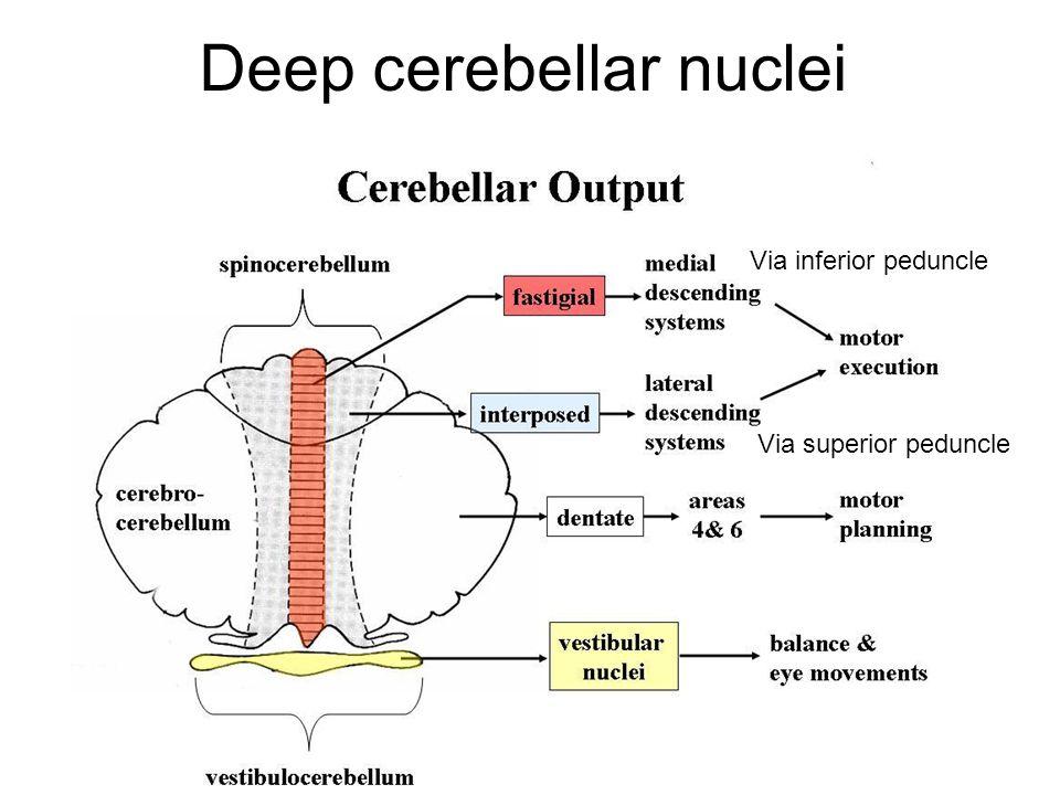 Deep cerebellar nuclei Via inferior peduncle Via superior peduncle