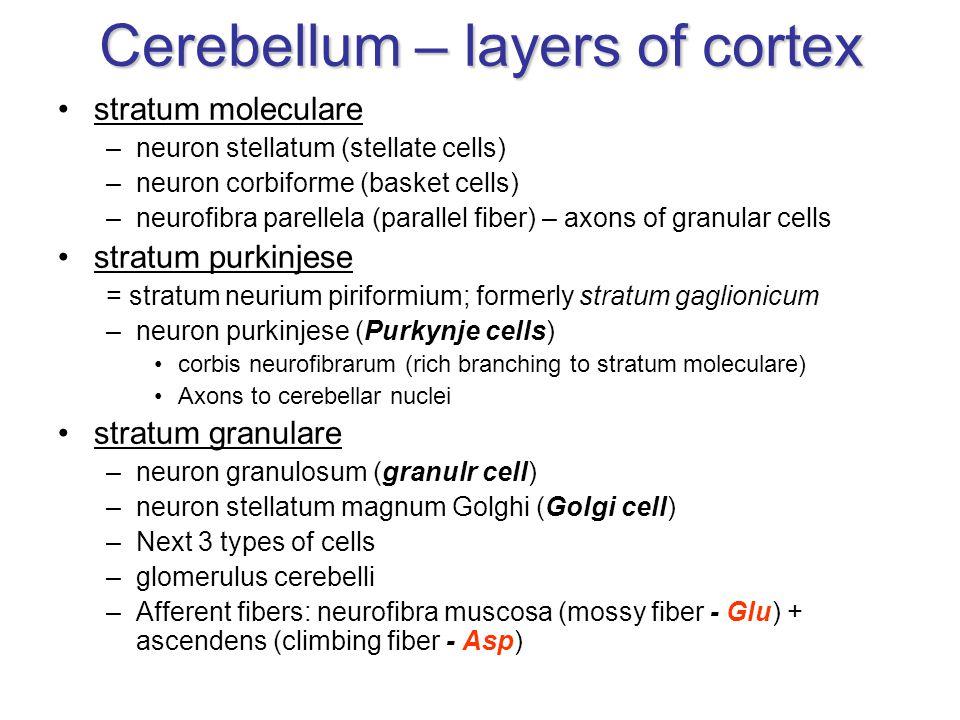 stratum moleculare –neuron stellatum (stellate cells) –neuron corbiforme (basket cells) –neurofibra parellela (parallel fiber) – axons of granular cel
