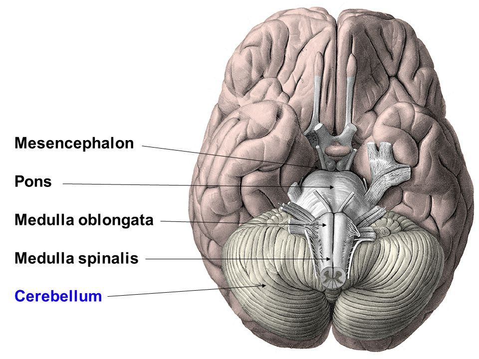 Mesencephalon Pons Medulla oblongata Medulla spinalis Cerebellum