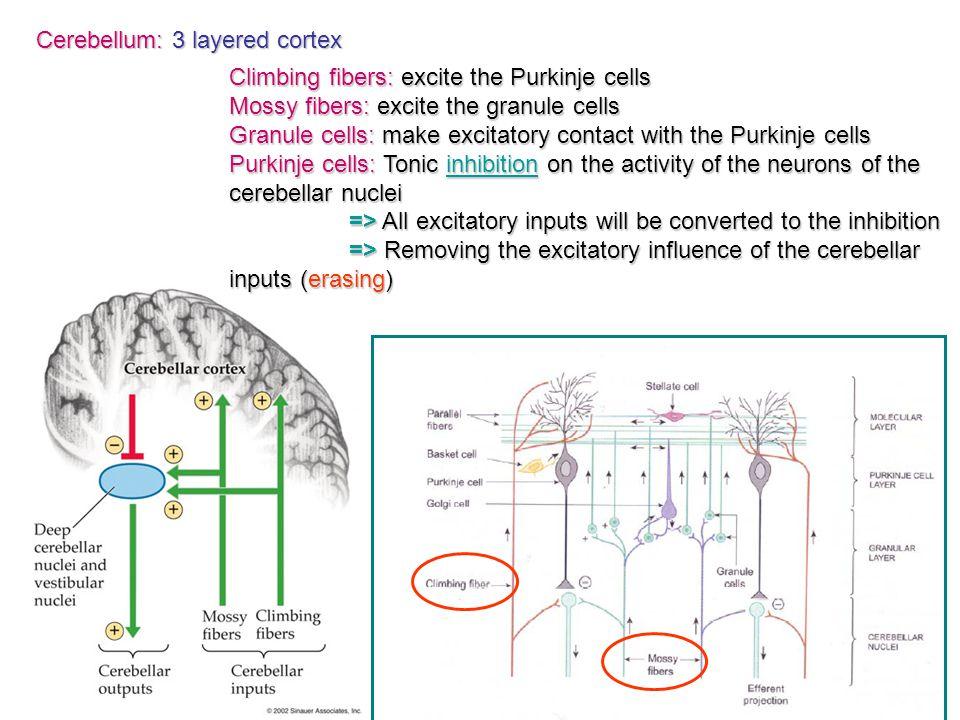Climbing fibers: excite the Purkinje cells Mossy fibers: excite the granule cells Granule cells: make excitatory contact with the Purkinje cells Purki