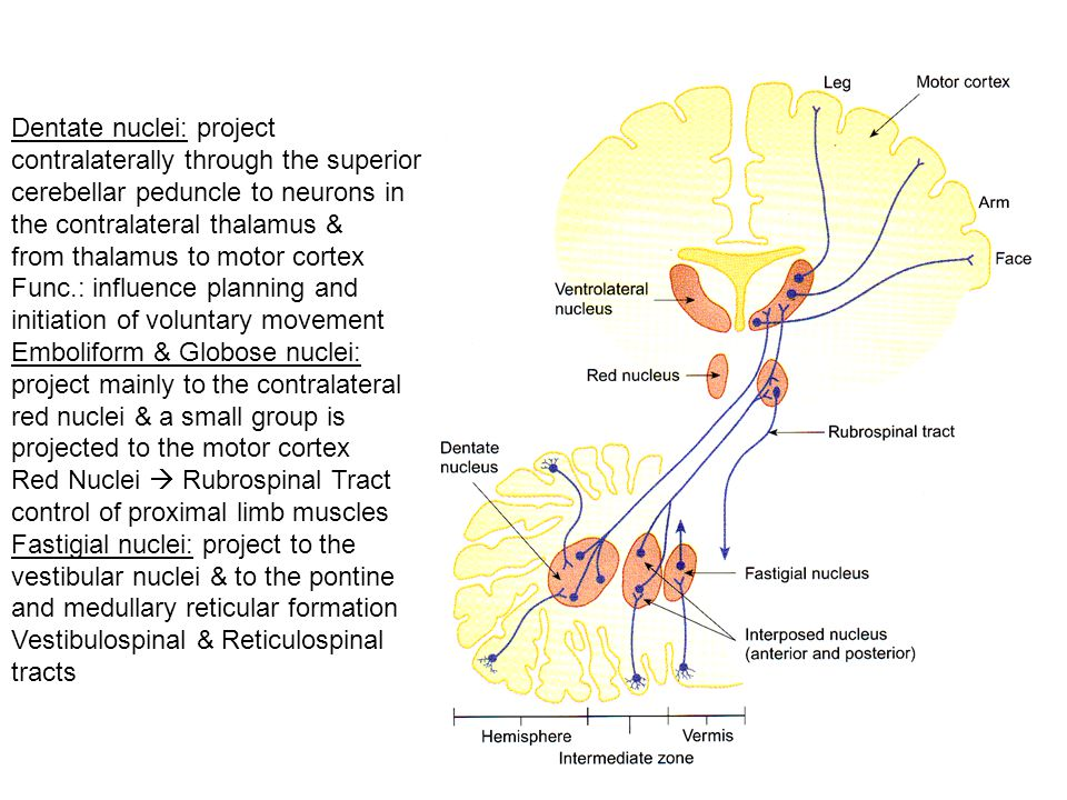 Dentate nuclei: project contralaterally through the superior cerebellar peduncle to neurons in the contralateral thalamus & from thalamus to motor cor