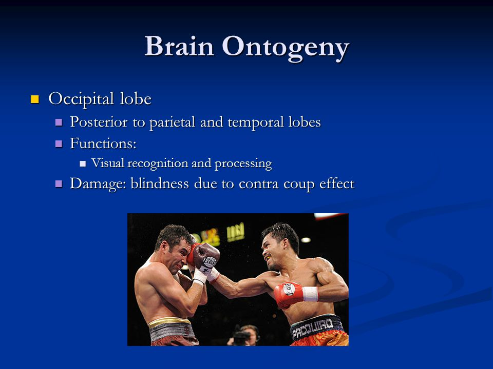 Brain Ontogeny Occipital lobe Occipital lobe Posterior to parietal and temporal lobes Posterior to parietal and temporal lobes Functions: Functions: Visual recognition and processing Visual recognition and processing Damage: blindness due to contra coup effect Damage: blindness due to contra coup effect