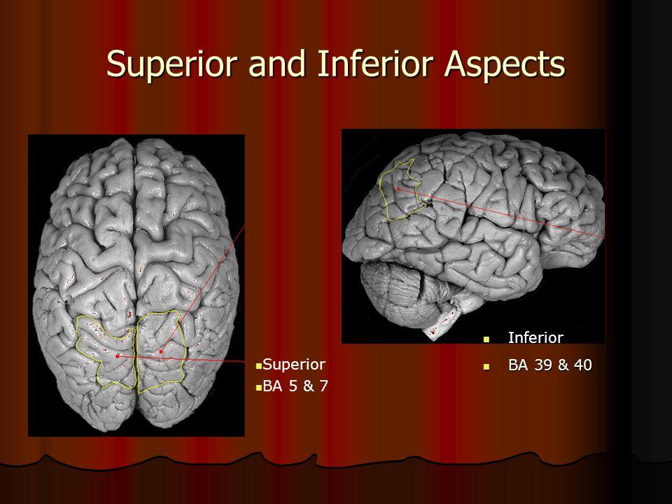Superior and Inferior Aspects Superior BA 5 & 7 Inferior Inferior BA 39 & 40 BA 39 & 40