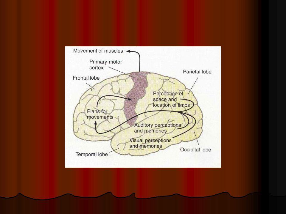 Parietal Lobe Function 1.Somatosensory (anterior strip) 2.