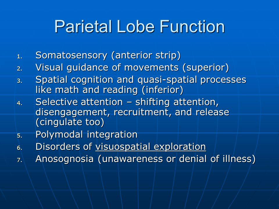 Parietal Lobe Function 1. Somatosensory (anterior strip) 2. Visual guidance of movements (superior) 3. Spatial cognition and quasi-spatial processes l