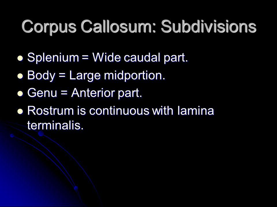 Corpus Callosum: Subdivisions Splenium = Wide caudal part. Splenium = Wide caudal part. Body = Large midportion. Body = Large midportion. Genu = Anter
