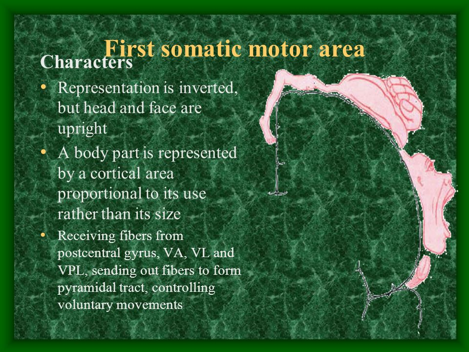 First somatic motor area Characters Representation is inverted, but head and face are upright A body part is represented by a cortical area proportional to its use rather than its size Receiving fibers from postcentral gyrus, VA, VL and VPL, sending out fibers to form pyramidal tract, controlling voluntary movements