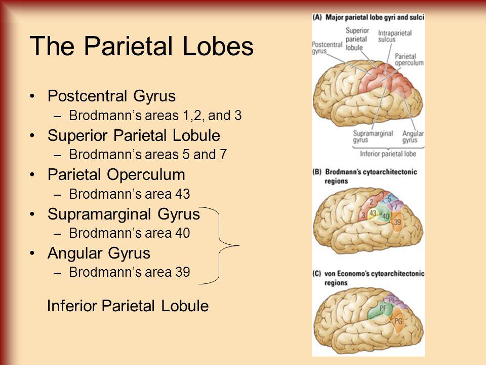 The Parietal Lobes Postcentral Gyrus –Brodmann's areas 1,2, and 3 Superior Parietal Lobule –Brodmann's areas 5 and 7 Parietal Operculum –Brodmann's ar