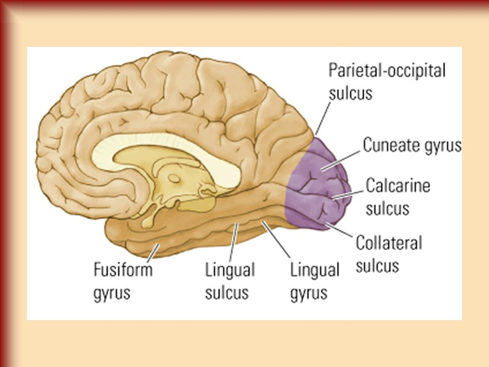 Connections of the Visual Cortex Connections –Primary Visual Cortex (V1) Input from LGN Output to all other levels –Secondary Visual Cortex (V2) Output to all other levels –After V2 Output to the parietal lobe - Dorsal Stream Output to the inferior temporal lobe - Ventral Stream Output to the superior temporal sulcus (STS) - STS Stream Dorsal Stream –Visual Guidance of Movements Ventral Stream –Object Perception STS –Visuospatial functions (bio movement)