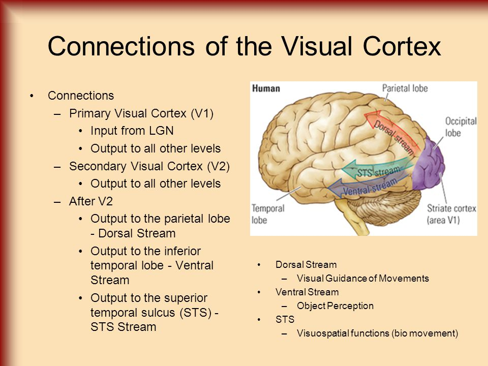 Connections of the Visual Cortex Connections –Primary Visual Cortex (V1) Input from LGN Output to all other levels –Secondary Visual Cortex (V2) Outpu
