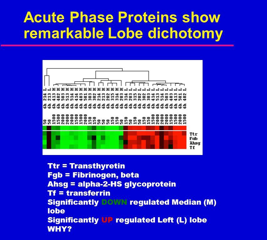 Acute Phase Proteins show remarkable Lobe dichotomy Ttr = Transthyretin Fgb = Fibrinogen, beta Ahsg = alpha-2-HS glycoprotein Tf = transferrin Signifi