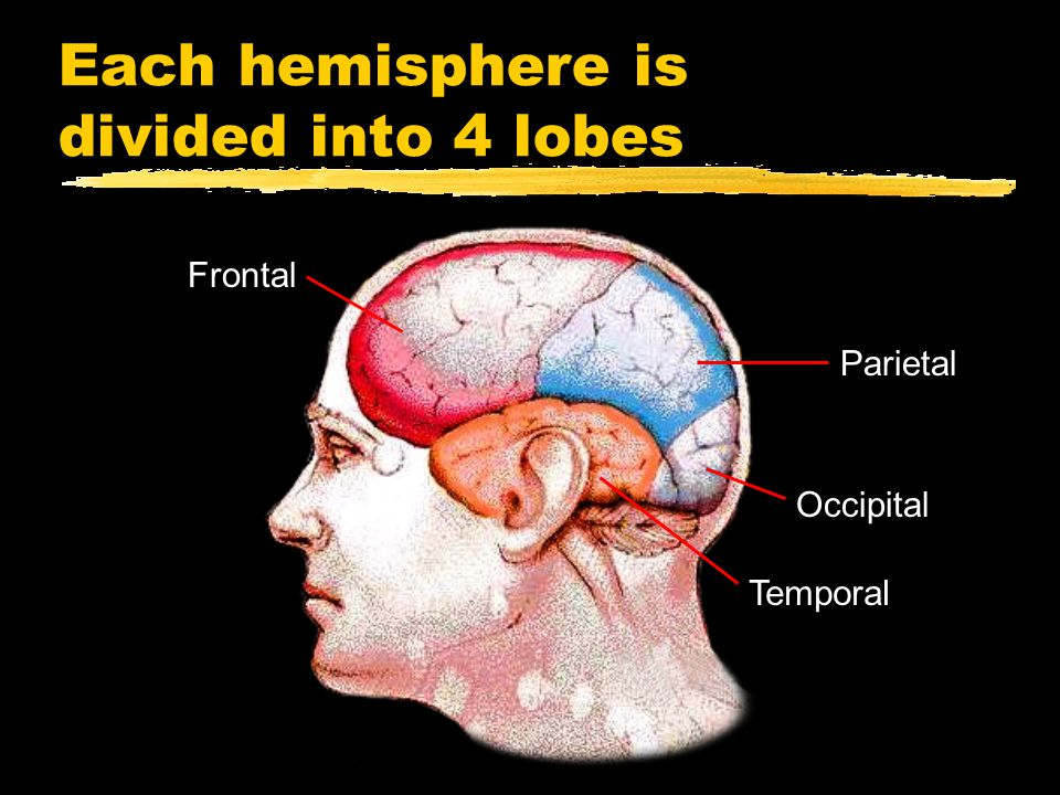 Each hemisphere is divided into 4 lobes Frontal Parietal Occipital Temporal