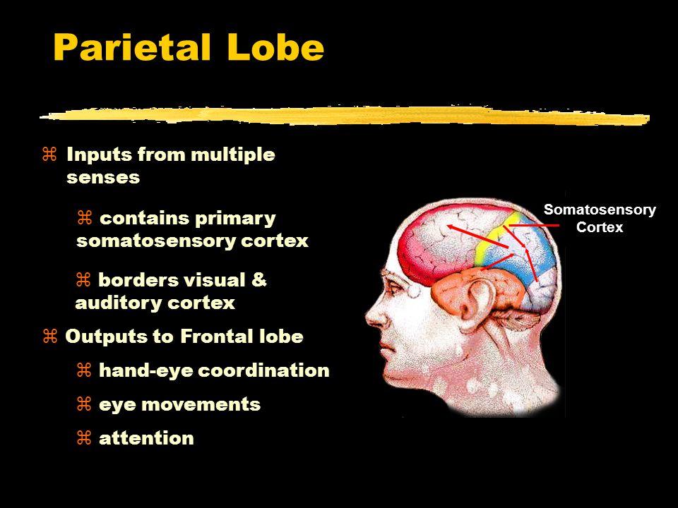 Parietal Lobe Somatosensory Cortex Parietal Lobe zInputs from multiple senses z contains primary somatosensory cortex z borders visual & auditory cortex z Outputs to Frontal lobe z hand-eye coordination z eye movements z attention
