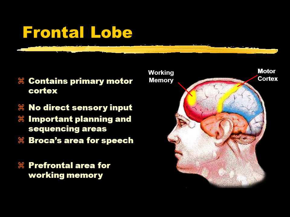 Frontal Lobe Frontal Lobe zContains primary motor cortex Motor Cortex Motor Cortex Broca's Area Motor Cortex Working Memory zNo direct sensory input zImportant planning and sequencing areas  Broca's area for speech zPrefrontal area for working memory