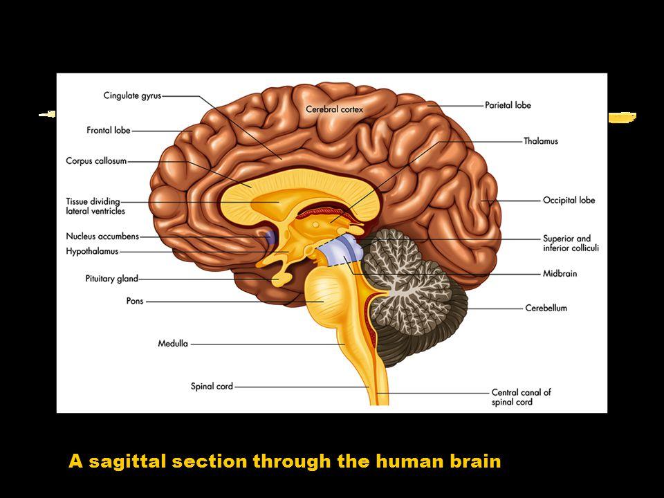 A sagittal section through the human brain