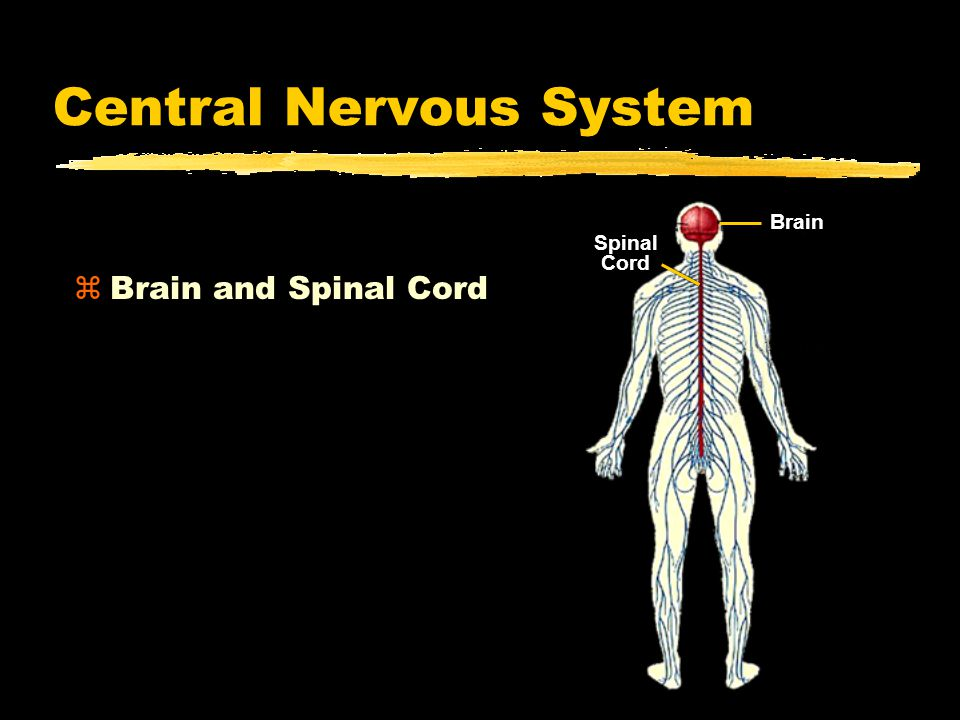 Central Nervous System zBrain and Spinal Cord Spinal Cord Brain
