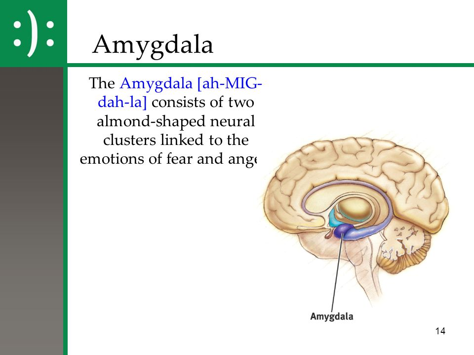 14 Amygdala The Amygdala [ah-MIG- dah-la] consists of two almond-shaped neural clusters linked to the emotions of fear and anger.