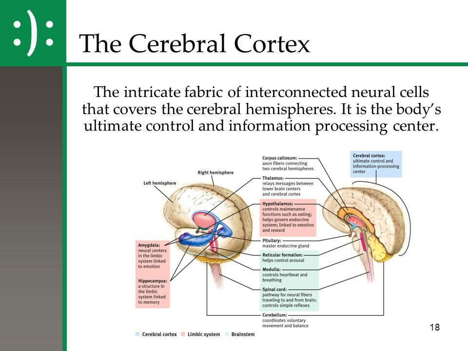 18 The Cerebral Cortex The intricate fabric of interconnected neural cells that covers the cerebral hemispheres. It is the body's ultimate control and