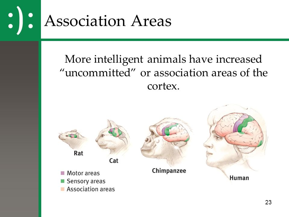 """23 More intelligent animals have increased """"uncommitted"""" or association areas of the cortex. Association Areas"""