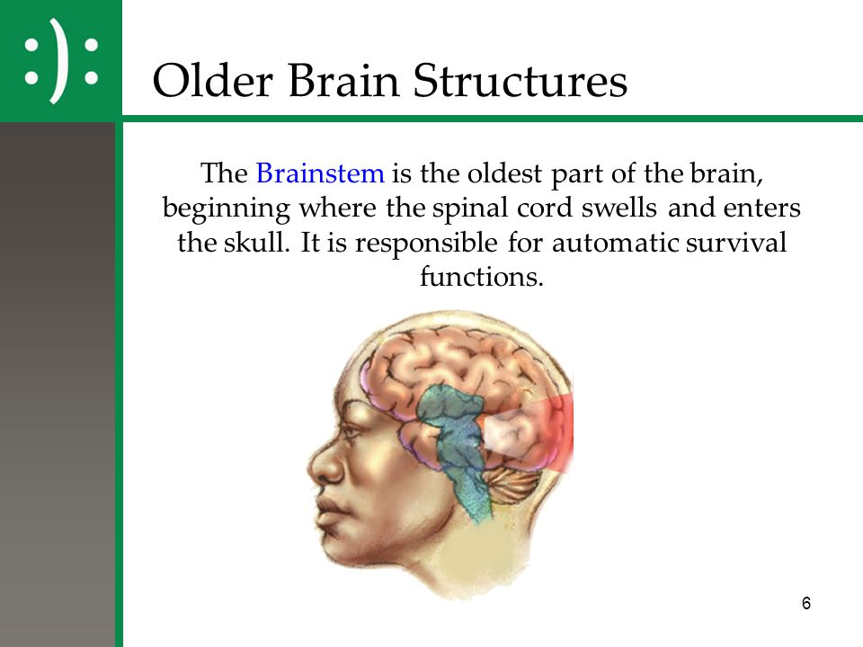 6 Older Brain Structures The Brainstem is the oldest part of the brain, beginning where the spinal cord swells and enters the skull. It is responsible