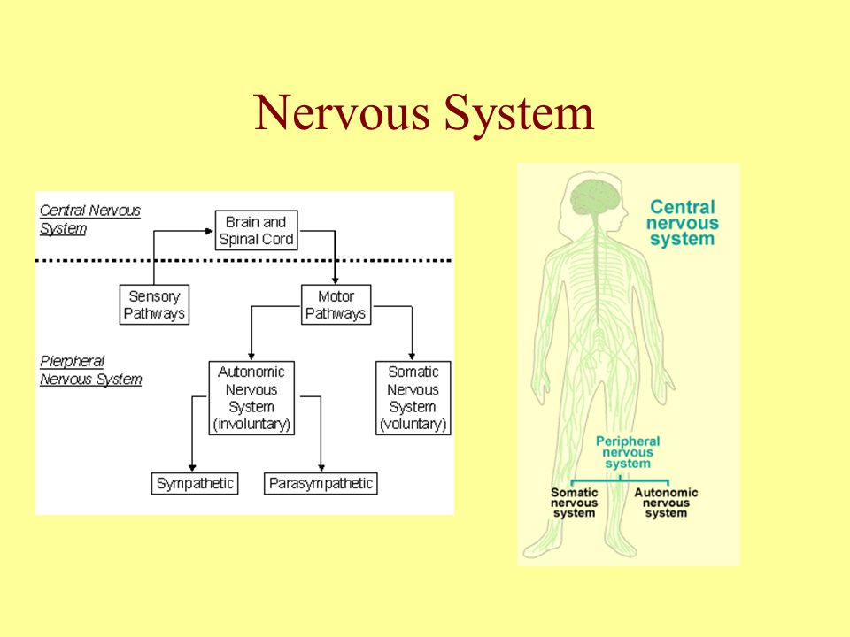 Nervous System Central Nervous SystemPeripheral Nervous System Divided into: Brain Spinal Chord