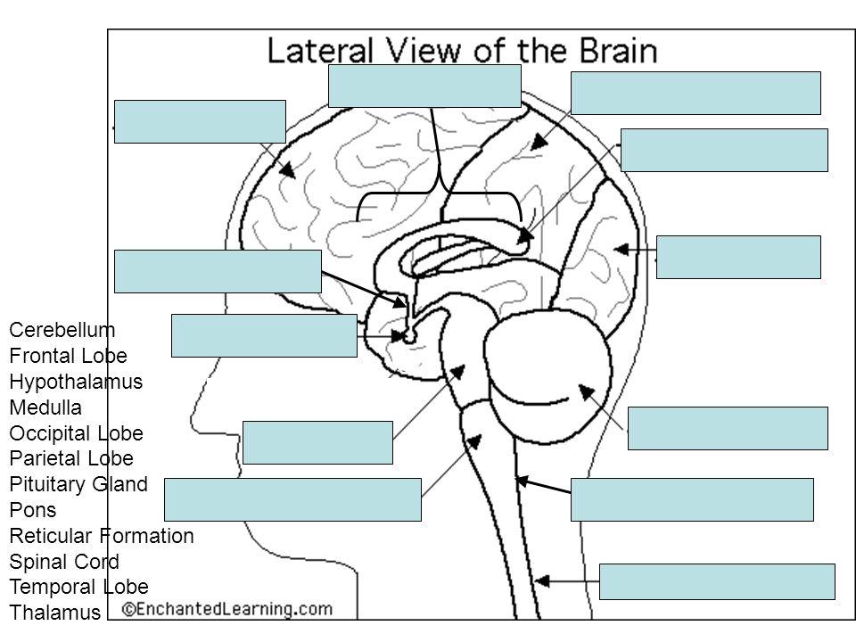 Cerebellum Frontal Lobe Hypothalamus Medulla Occipital Lobe Parietal Lobe Pituitary Gland Pons Reticular Formation Spinal Cord Temporal Lobe Thalamus
