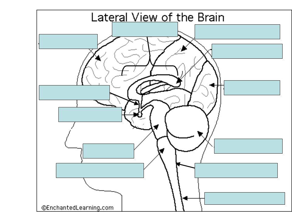 Frontal Lobe Parietal Lobe Thalamus Occipital Lobe Cerebellum Spinal Cord Pons Pituitary Gland Reticular Formation Hypothalamus Temporal Lobe Medulla Cerebellum Frontal Lobe Hypothalamus Medulla Occipital Lobe Parietal Lobe Pituitary Gland Pons Reticular Formation Spinal Cord Temporal Lobe Thalamus