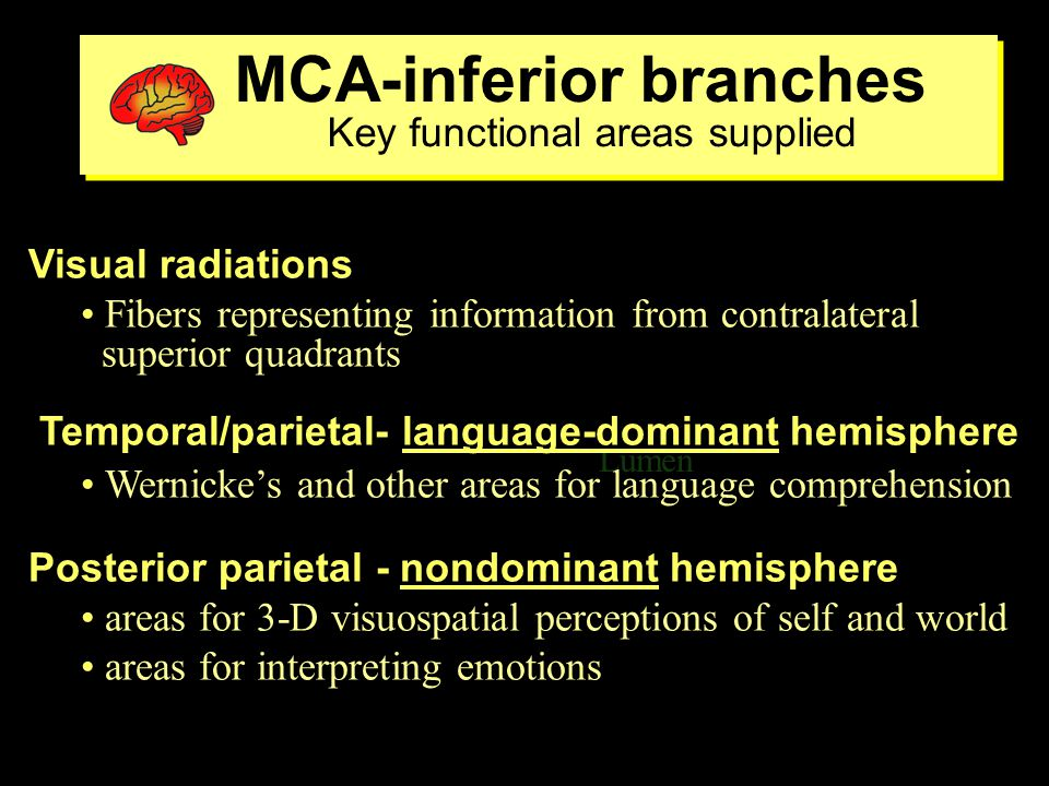 MCA-inferior branches Key functional areas supplied MCA-inferior branches Key functional areas supplied Lumen ventricle Visual radiations Fibers representing information from contralateral superior quadrants Temporal/parietal- language-dominant hemisphere Wernicke's and other areas for language comprehension Posterior parietal - nondominant hemisphere areas for 3-D visuospatial perceptions of self and world areas for interpreting emotions