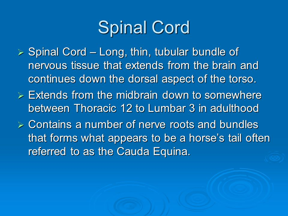 Spinal Cord  Spinal Cord – Long, thin, tubular bundle of nervous tissue that extends from the brain and continues down the dorsal aspect of the torso
