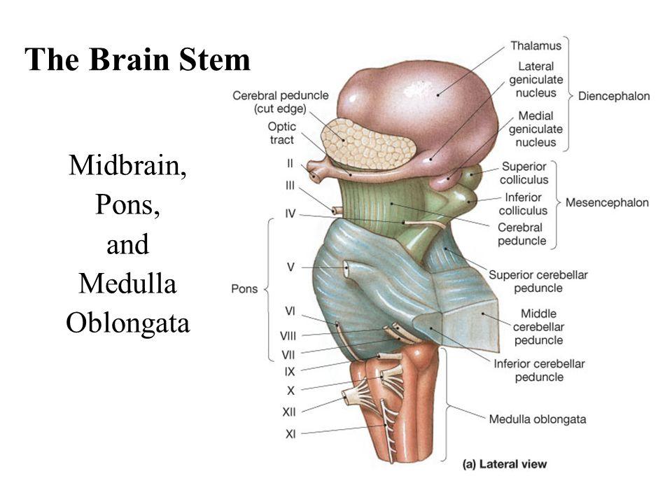 The Brain Stem Midbrain, Pons, and Medulla Oblongata