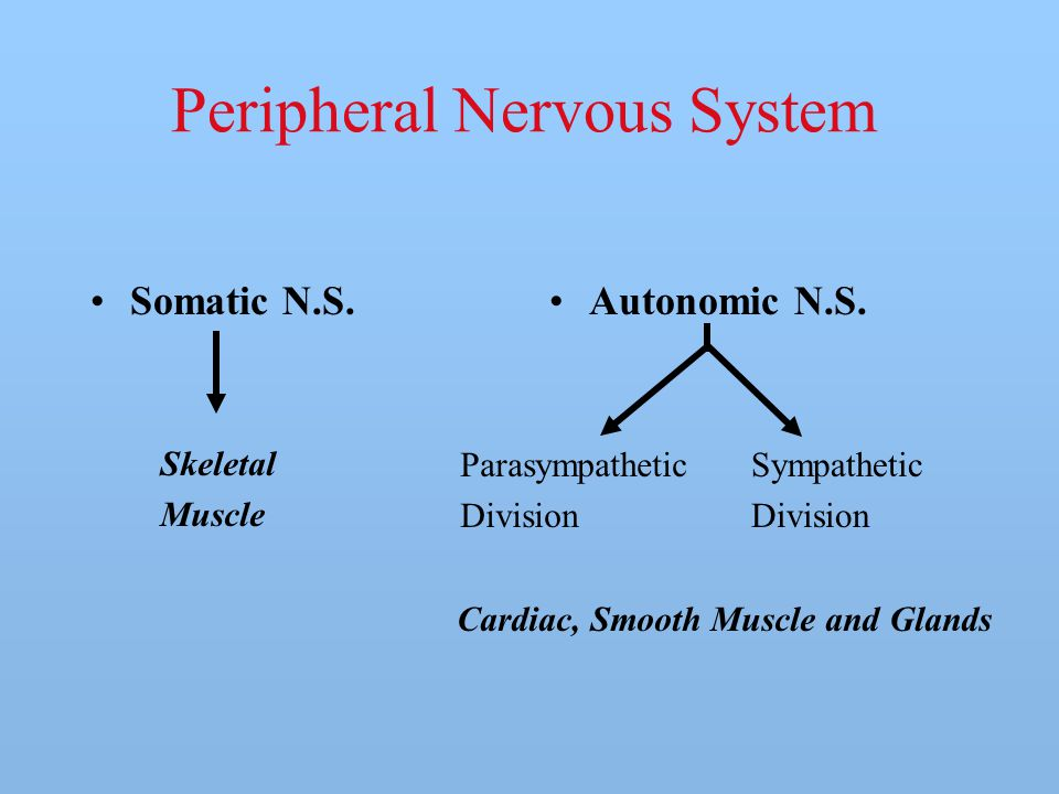 Peripheral Nervous System Somatic N.S.Autonomic N.S. Parasympathetic Division Sympathetic Division Skeletal Muscle Cardiac, Smooth Muscle and Glands