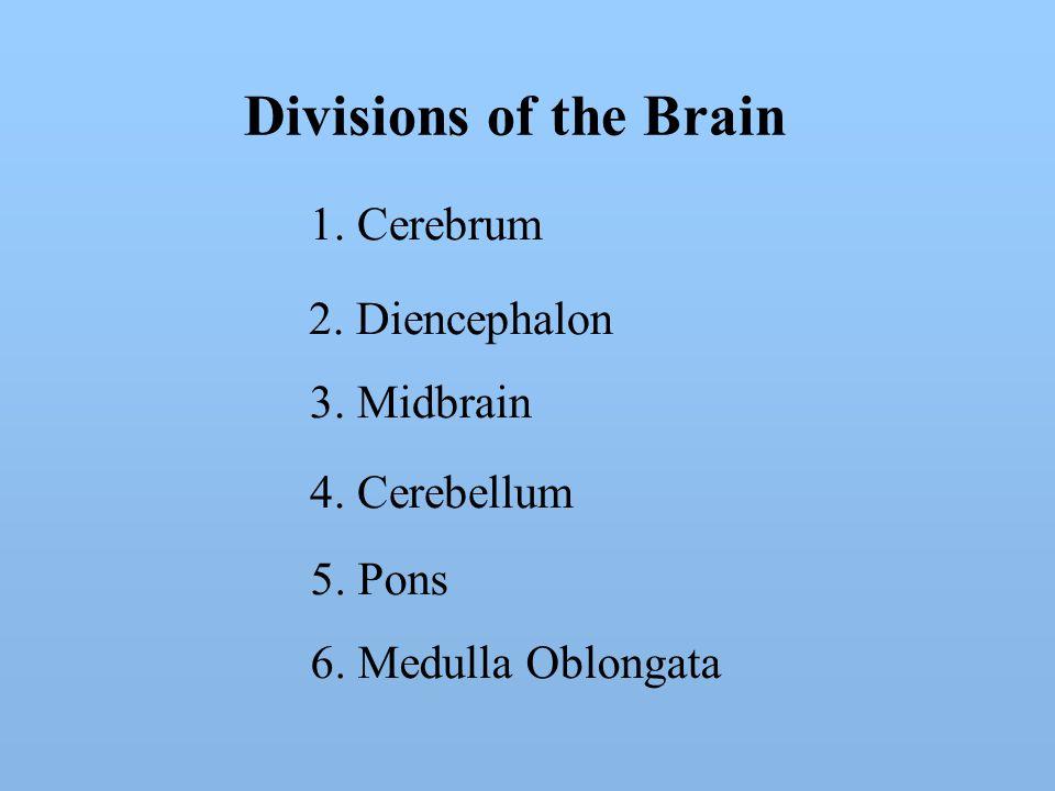 Divisions of the Brain 1. Cerebrum 2. Diencephalon 3.
