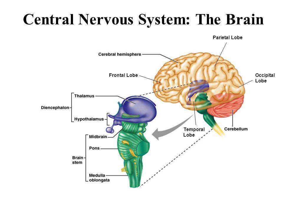 Central Nervous System: The Brain Frontal Lobe Parietal Lobe Occipital Lobe Temporal Lobe
