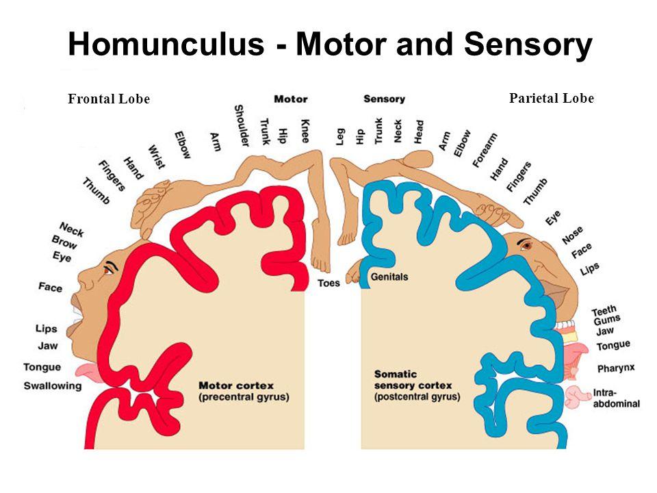 Homunculus - Motor and Sensory Frontal Lobe Parietal Lobe