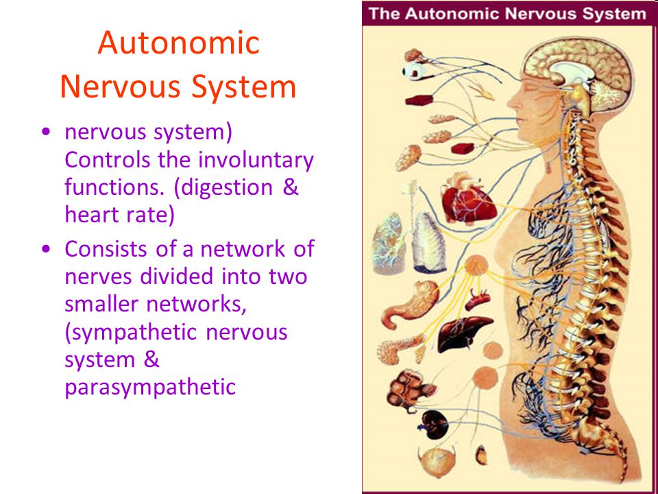 Autonomic Nervous System nervous system) Controls the involuntary functions. (digestion & heart rate) Consists of a network of nerves divided into two