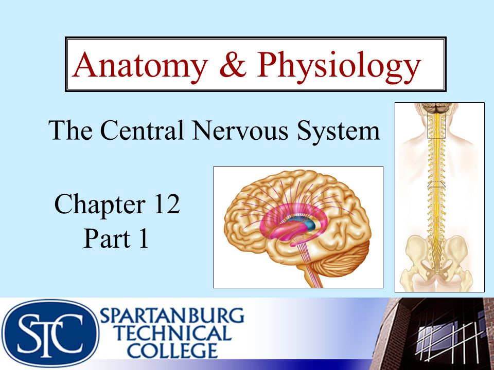 Brain Development Posteriolateral growth of the cerebral hemispheres encloses the diencephalon and superior aspect of the brain stem
