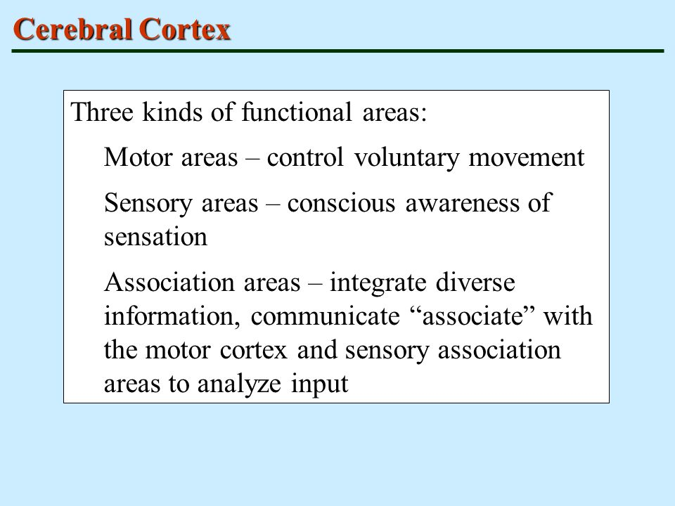 Cerebral Cortex Three kinds of functional areas: Motor areas – control voluntary movement Sensory areas – conscious awareness of sensation Association