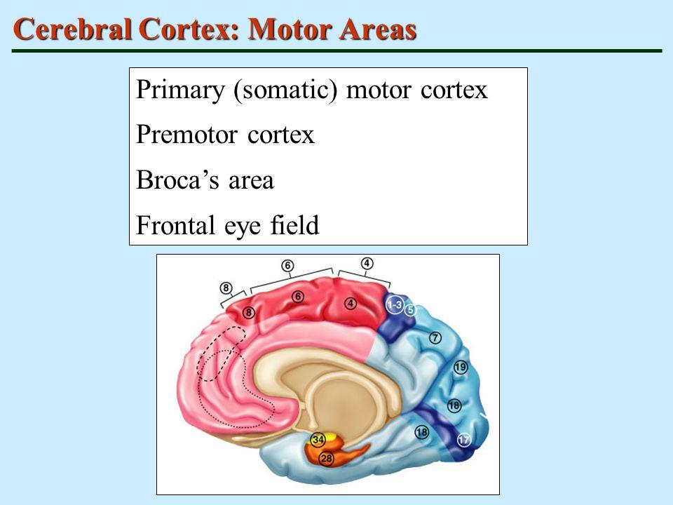 Cerebral Cortex: Motor Areas Primary (somatic) motor cortex Premotor cortex Broca's area Frontal eye field