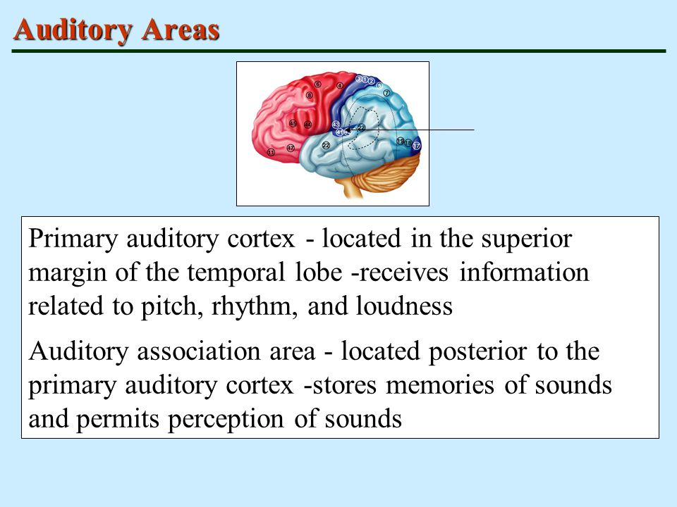 Auditory Areas Primary auditory cortex - located in the superior margin of the temporal lobe -receives information related to pitch, rhythm, and loudn