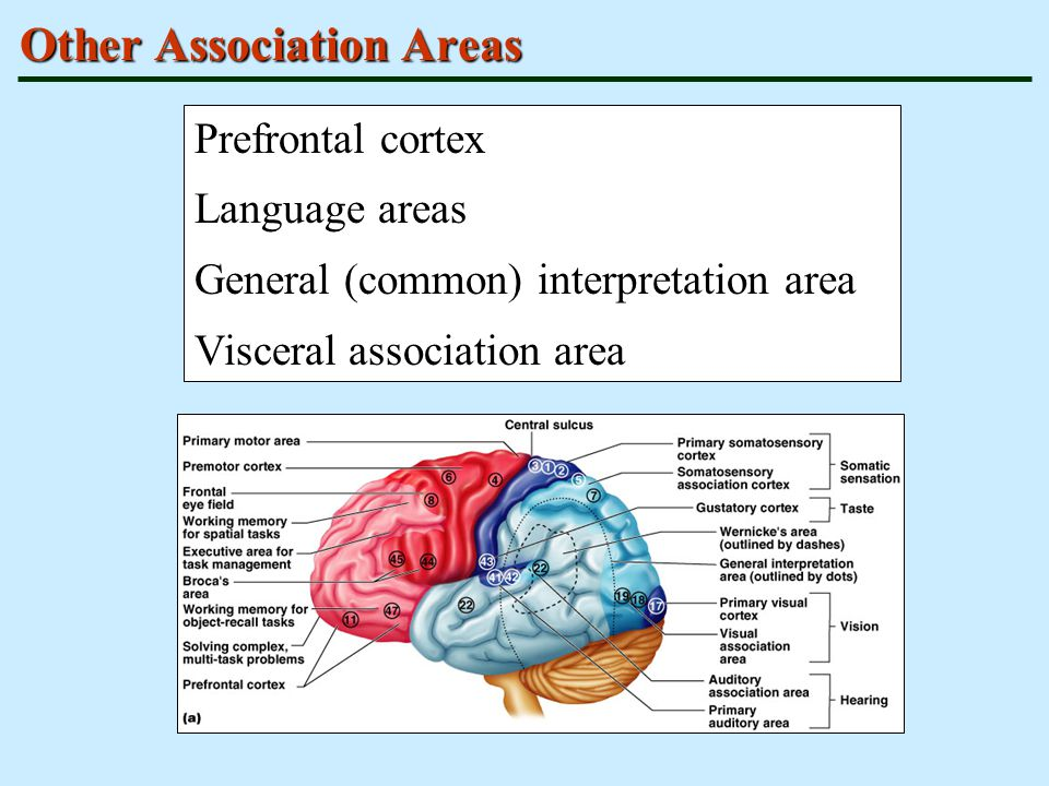 Other Association Areas Prefrontal cortex Language areas General (common) interpretation area Visceral association area